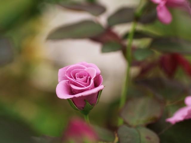広島市植物公園、秋のバラ