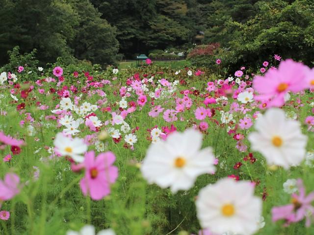 広島市植物公園、コスモス