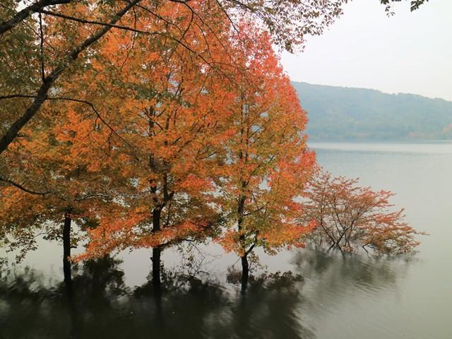 土師ダムの紅葉、モミジバフウ
