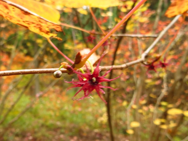 おおの自然観察の森、ベニマンサクの花