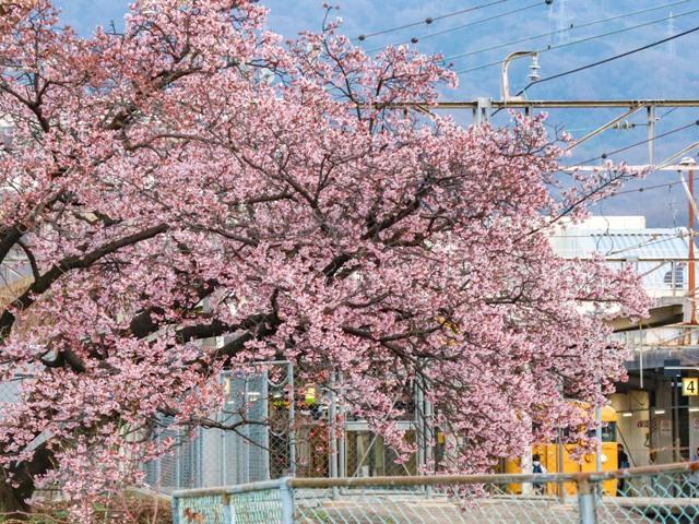 JR海田市駅の緋寒桜